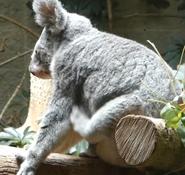 Columbus Zoo Koala