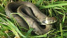 Grass-snake-02.jpg