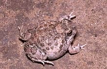 Common Sand Frog
