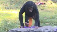Kansas City Zoo Chimpanzee