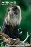 Lion-tailed-macaque-female