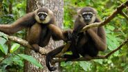 Male and Female Agile Gibbons