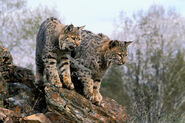 Male and female bobcats
