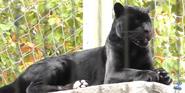Memphis Zoo Menalistic Jaguar