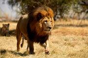 Panthera leo senegalensis.jpg