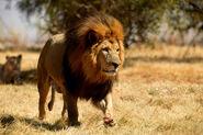 Panthera leo senegalensis