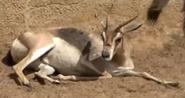 San Diego Zoo Gazelle