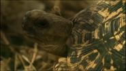 Serengeti Leopard Tortoise