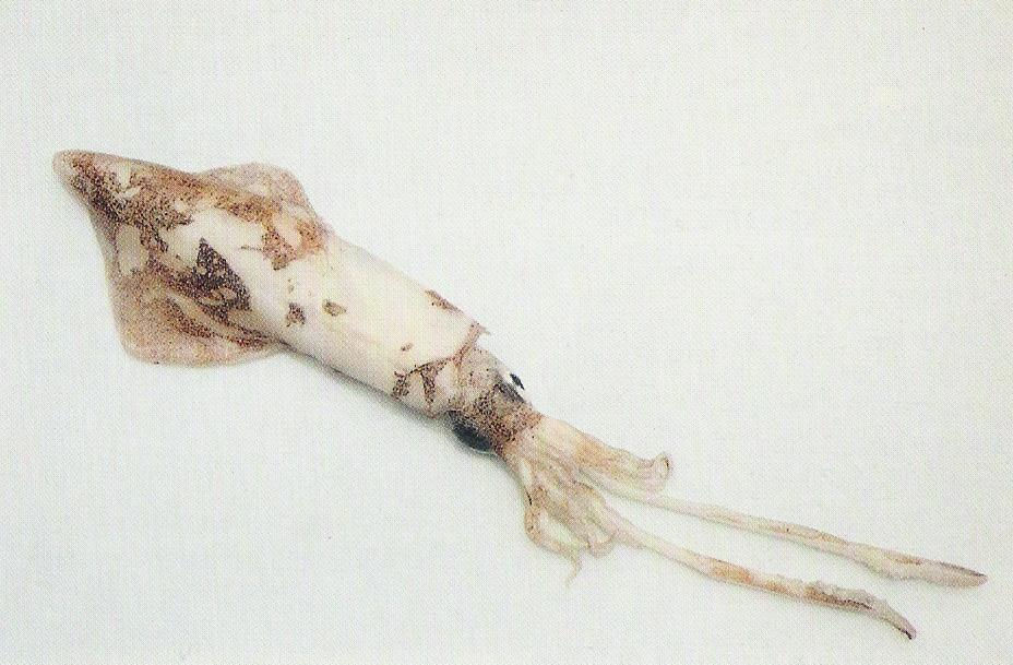 European Flying Squid