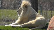 Toronto Zoo Lion X2
