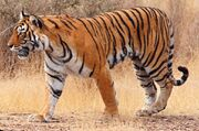 Bengal tiger (Panthera tigris tigris).jpg