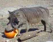 Dickerson Park Zoo Warthog