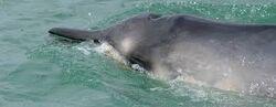 Grey beaked whale.jpg