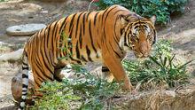 Malayan-Tiger-Images.jpg