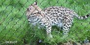 Pittsburgh Zoo Ocelot