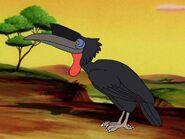 Rileys Adventures Abyssinian Ground Hornbill
