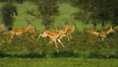 SRNGTI Impalas