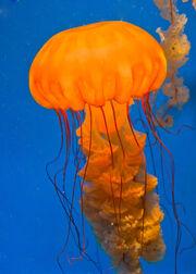 Sea Nettle Jellyfish.jpg