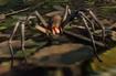 Spider, Brazilian Wandering (Planet Zoo)
