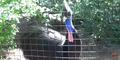 Zoo Anlanta Cassowary