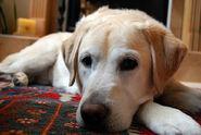 800px-Golden Labrador Toby 2007