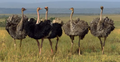 African Cats Ostriches