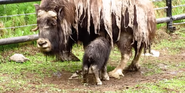Alaska Zoo Muskox