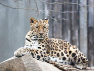 Amur-leopard 99144569