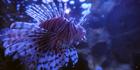 Brookfield Zoo Lionfish