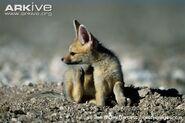 Cape-fox-cub-scratching