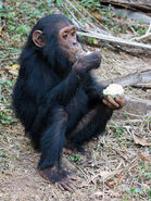 Chimpanzee, Common