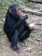 Chimpanzee, Common.jpg