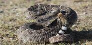Diamondback Rattlesnake, Western
