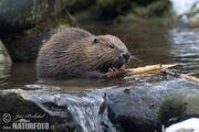 European-beaver-79519.jpg