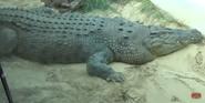 Forth Worth Zoo Crocodile