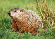 Groundhog-day-groundhog 12530 600x450.jpg