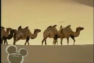 Little Einsteins Camels