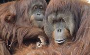 Male and Female Bornean Orangutans