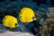 Pair-of-blue-cheek-butterflyfish-red-sea u-l-q10cxje0.jpg