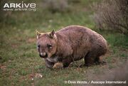 Southern-hairy-nosed-wombat.jpg