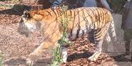 Toledo Zoo Tiger