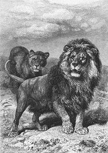 Brehms Het Leven der Dieren Zoogdieren Orde 4 Leeuw (Felis leo capensis).jpg