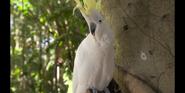 CITIRWN Cockatoo