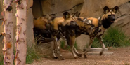 Cincinnati Zoo Wild Dogs