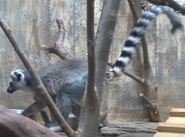 Cleveland Metroparks Zoo Ring-Tailed Lemur