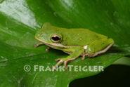 Frog, American Green Tree