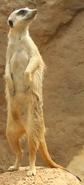 Indianapolis Zoo Meerkat