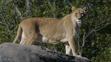 Seneca Zoo Lioness