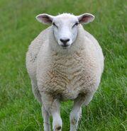 Sheep (Animals)