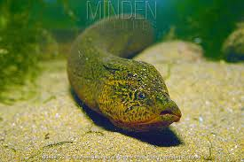 Asian Swamp Eel